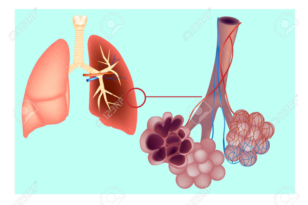 Diagram Of The Pulmonary Alveolus In The Lung Bronchioles And