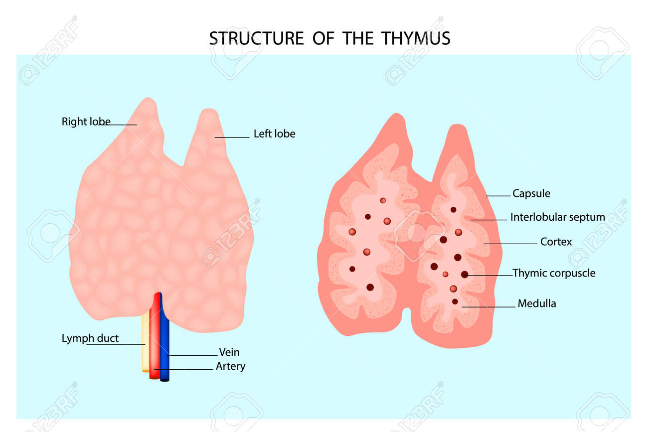 anatomy of the thymus gland  structure of the thymus  stock vector -  111135469
