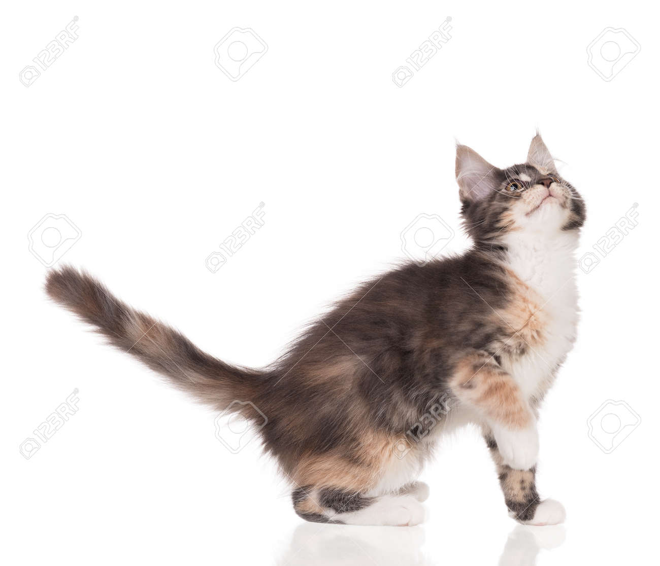 Fluffy Maine Coon kitten isolated over white background - 121861745