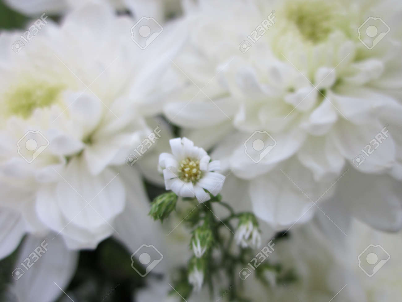 Big And Small White Flowers Stock Photo Picture And Royalty Free