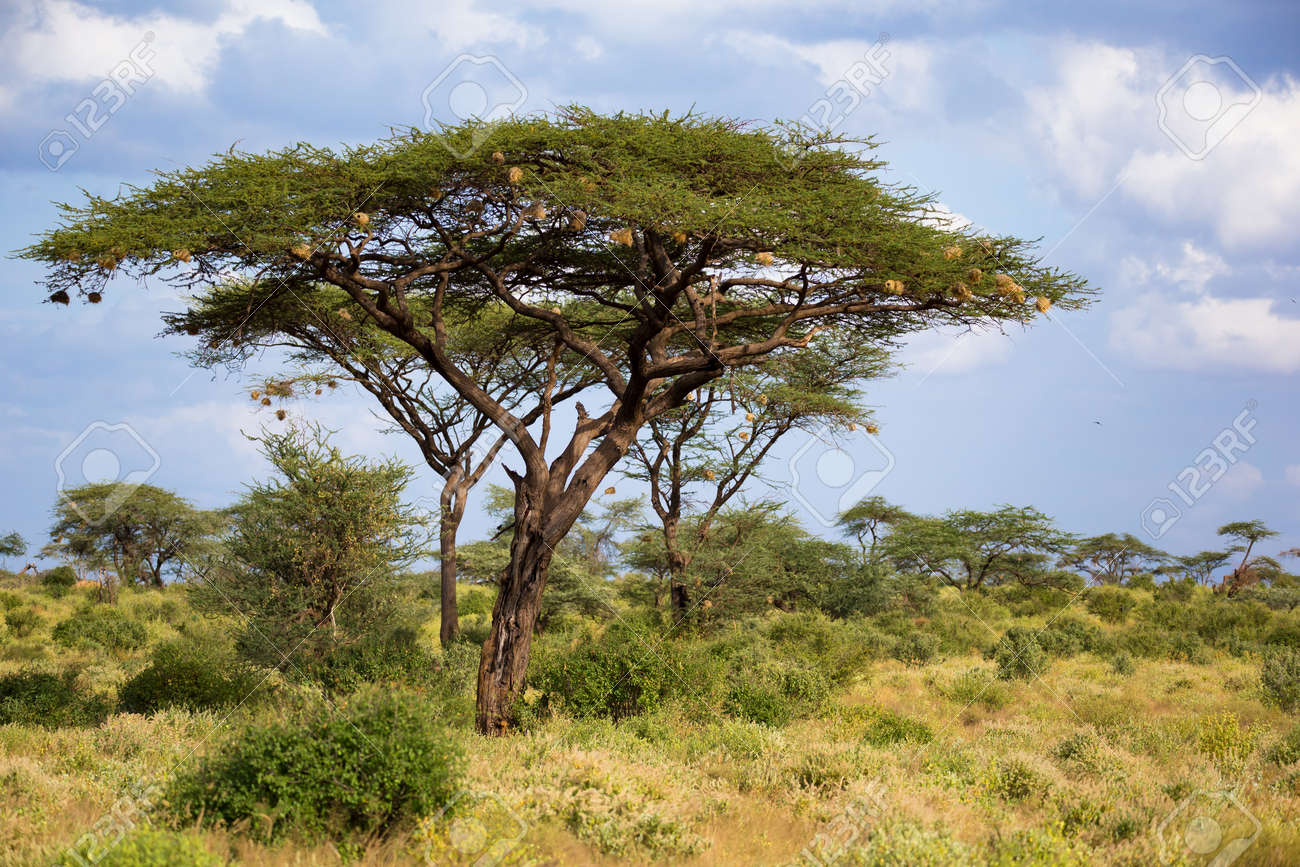 One big acacia tree between another bushes and plants - 121812142