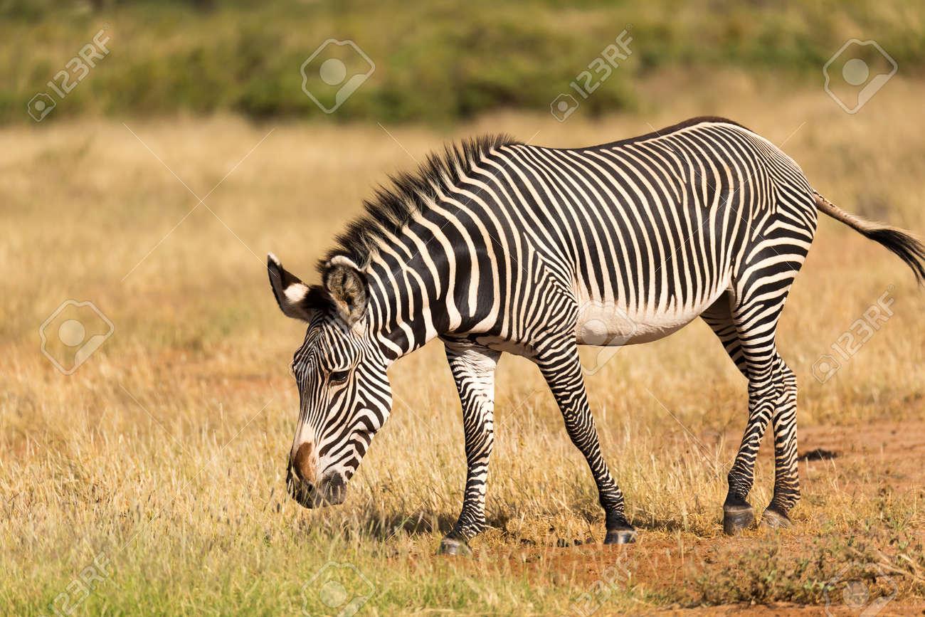 The Grevy Zebra is grazing in the countryside of Samburu in Kenya - 122317735