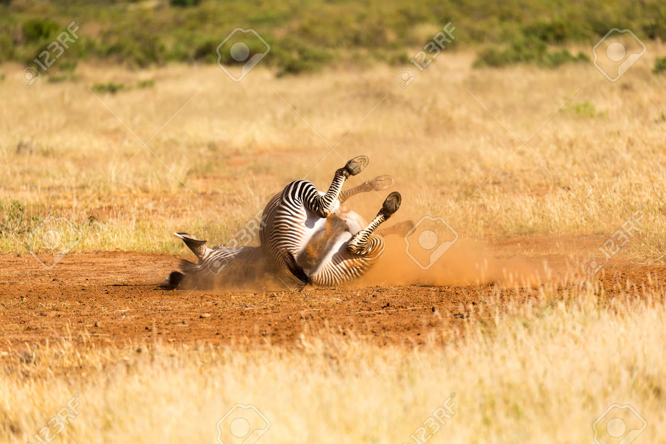 The Grevy Zebra lies on its back in the dust - 122317882