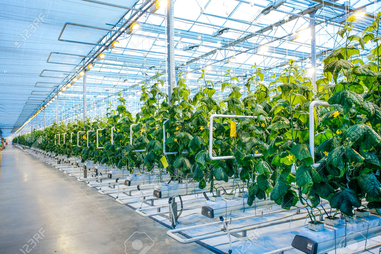 Green crop in modern greenhouse full of ligh in modern agriculture factory - 52838085
