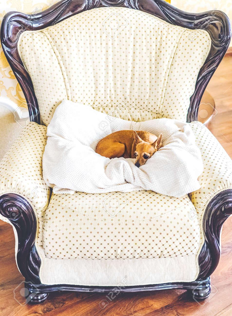 Kleinen Hund Auf Einem Weißen Kissen Auf Fantastischer Stuhl In