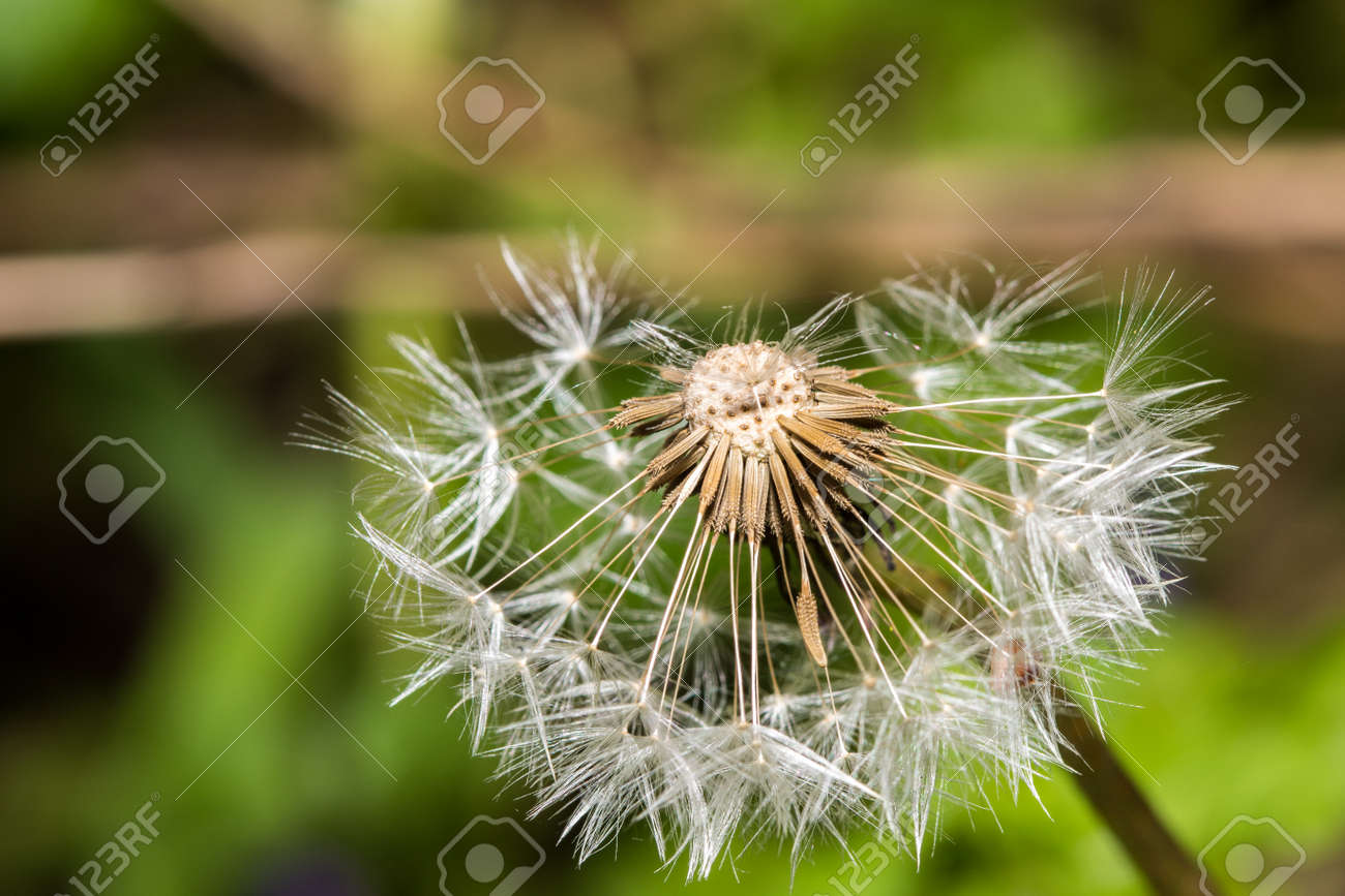 dandelion blowball seeds stock photo picture and royalty free image