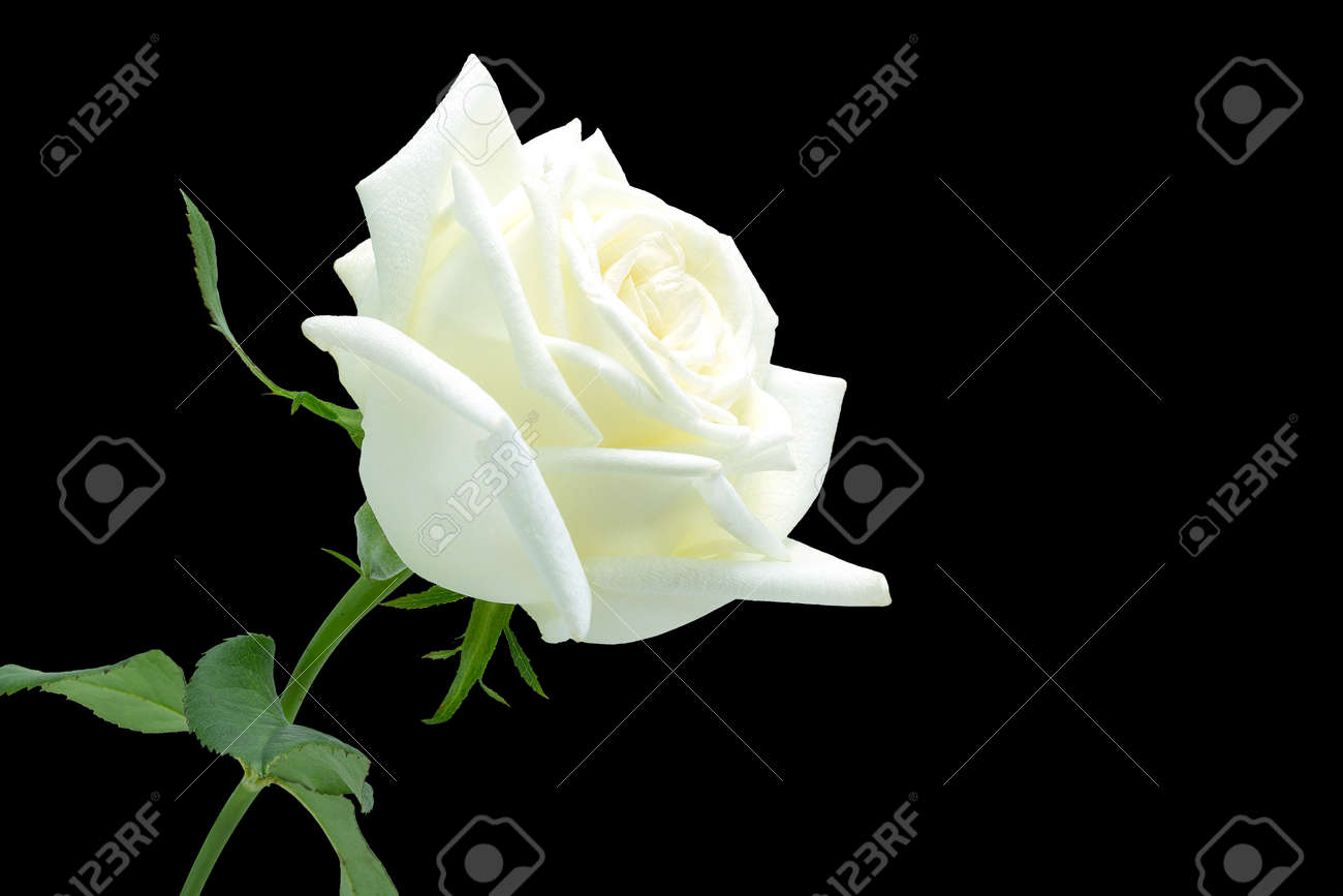 White Rose On Black Background Stock Photo Picture And Royalty Free