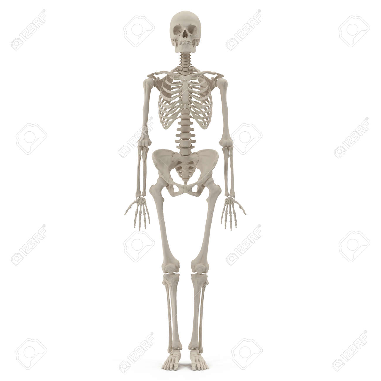 Medical Accurate Female Skeleton On White Background 3d