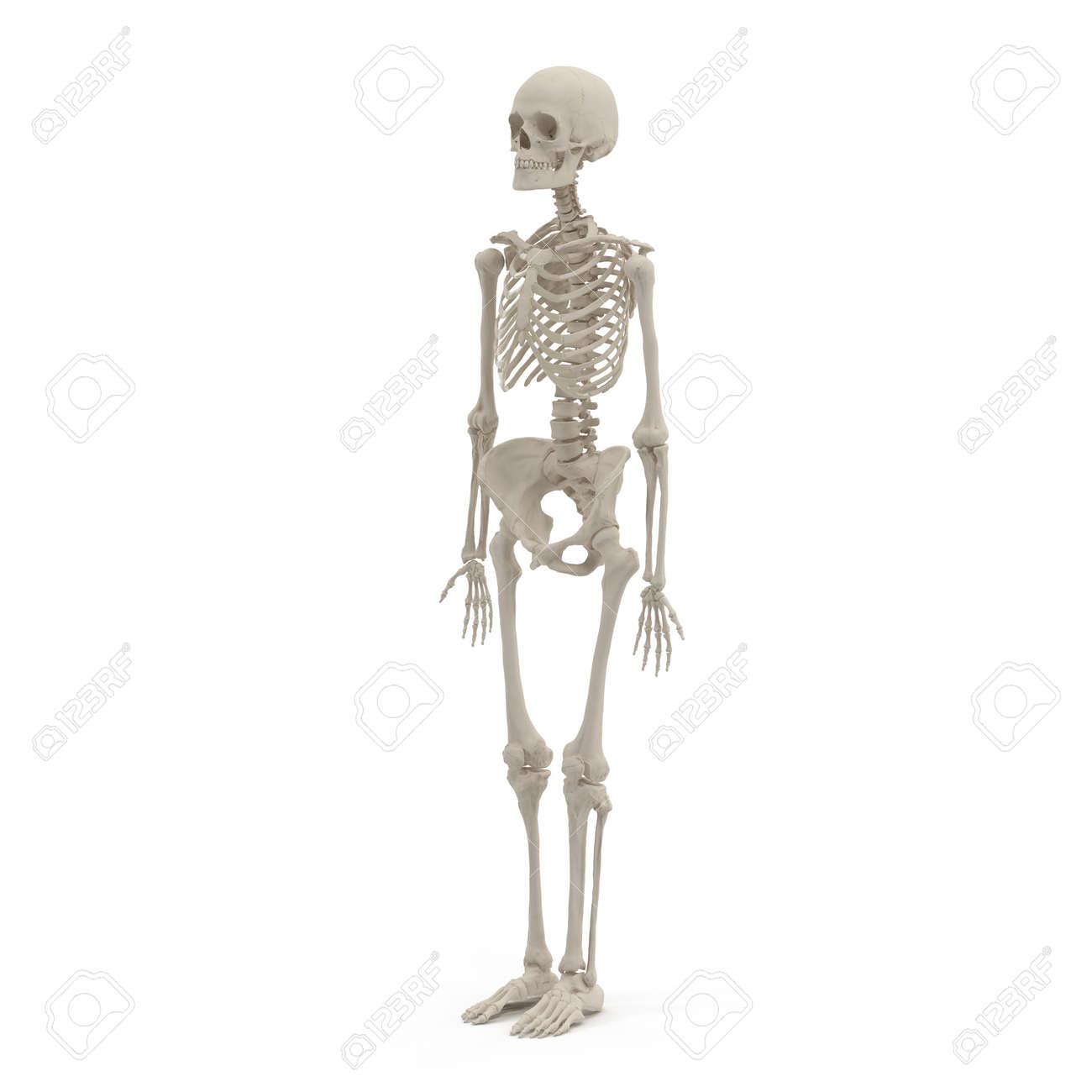 Ausgezeichnet Skelettkörpersystem Ideen - Menschliche Anatomie ...