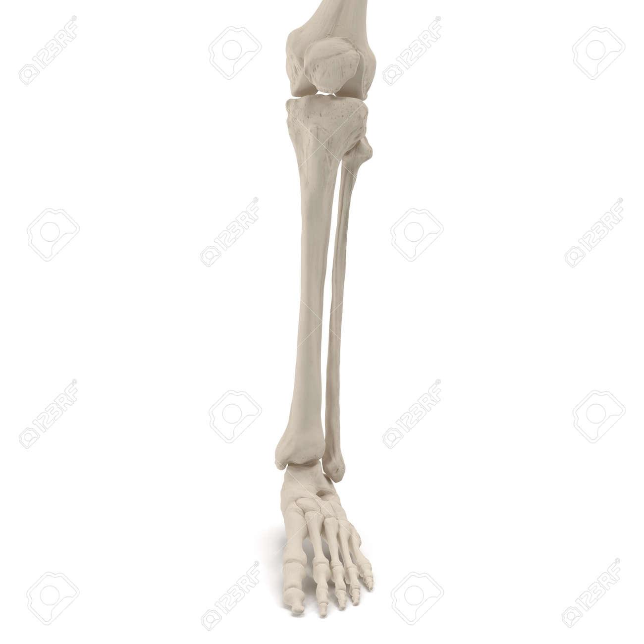 Human Legs Skeleton Bones On White 3d Illustration Stock Photo