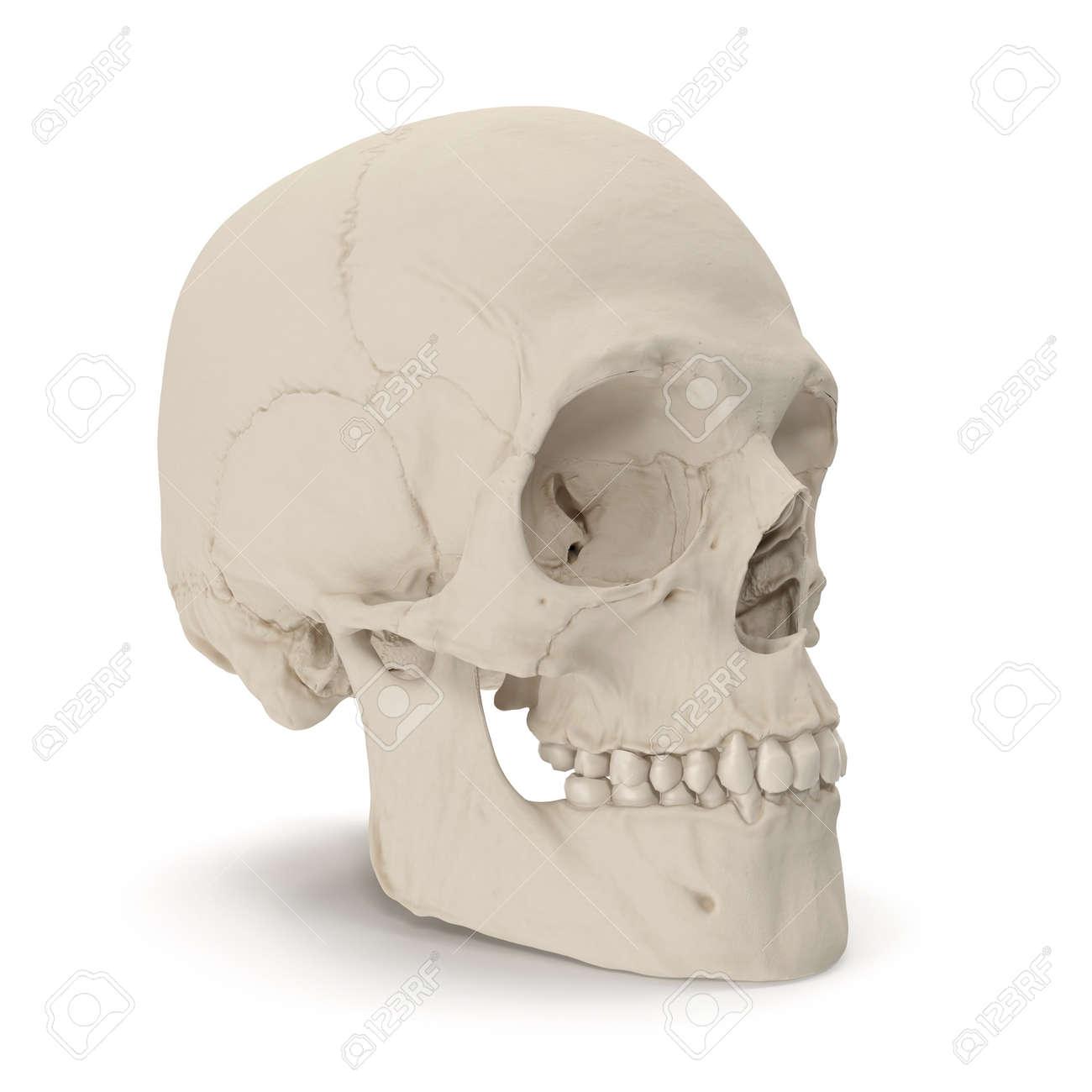 Erfreut Schädel Der Menschlichen Anatomie Fotos - Physiologie Von ...