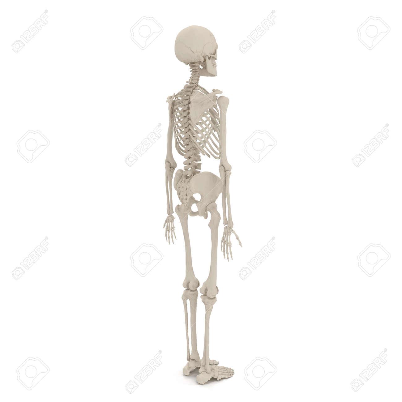 Actitud Derecha Del Esqueleto Masculino Humano En Blanco