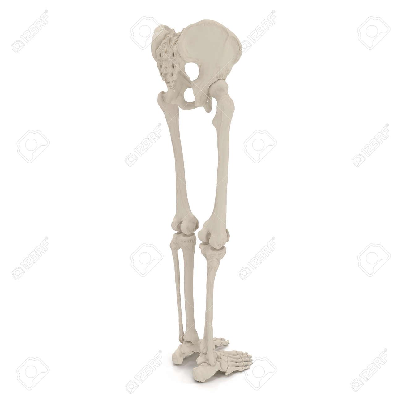 Männliches Unteres Körperskelett Auf Weiß. 3D-Darstellung ...