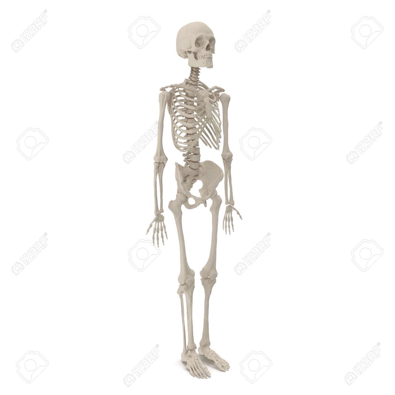 Human Male Skeleton Standing Pose On White 3d Illustration Stock