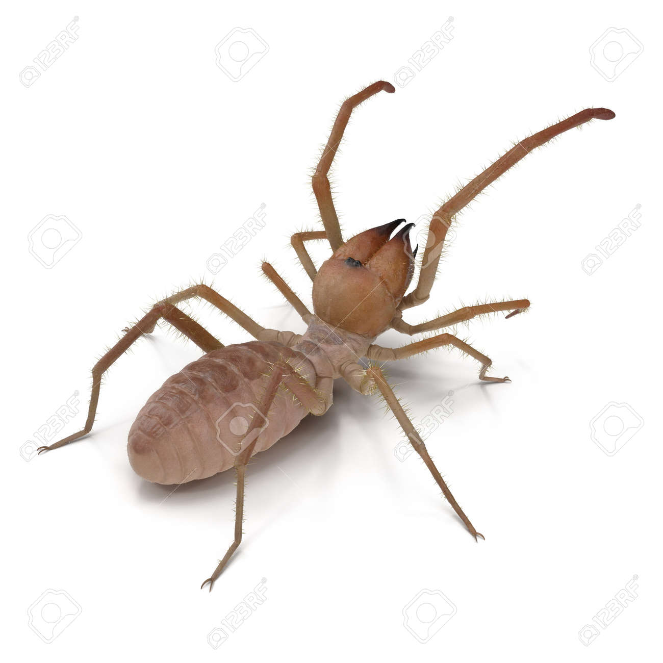120590581-solifugae-or-camel-spider-with