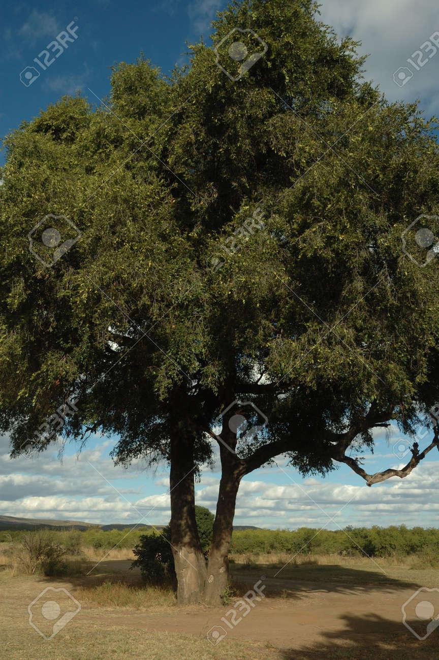 Jackal-berry tree (Diosperos mespilliformis) Stock Photo - 7539495