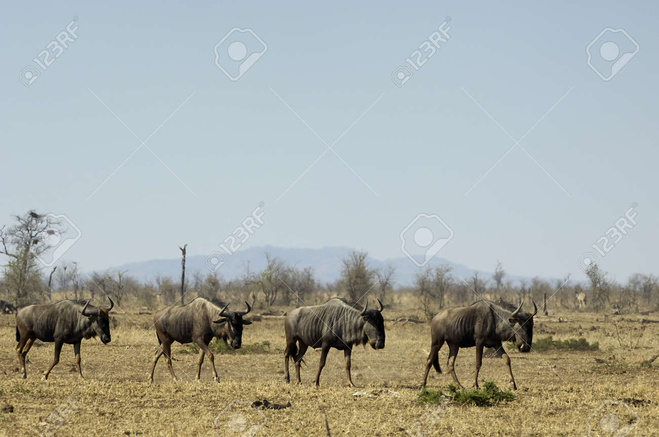 Blue wildebeest Stock Photo - 9273655