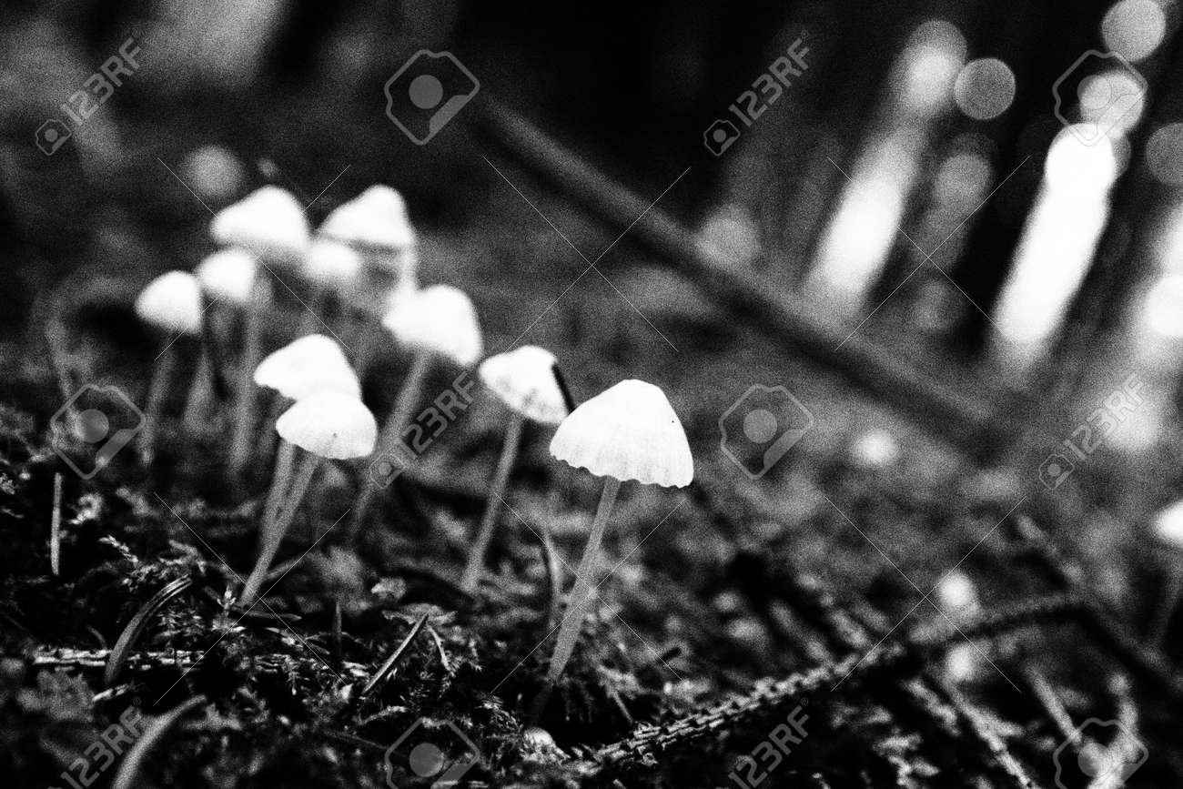 Artistic black and white photograph of toadstools in the forest stock photo 27827109