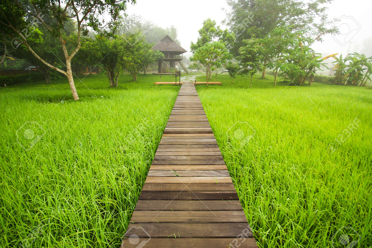 Pathway To Green Rice Field In Stock Photo, Picture And Royalty ...