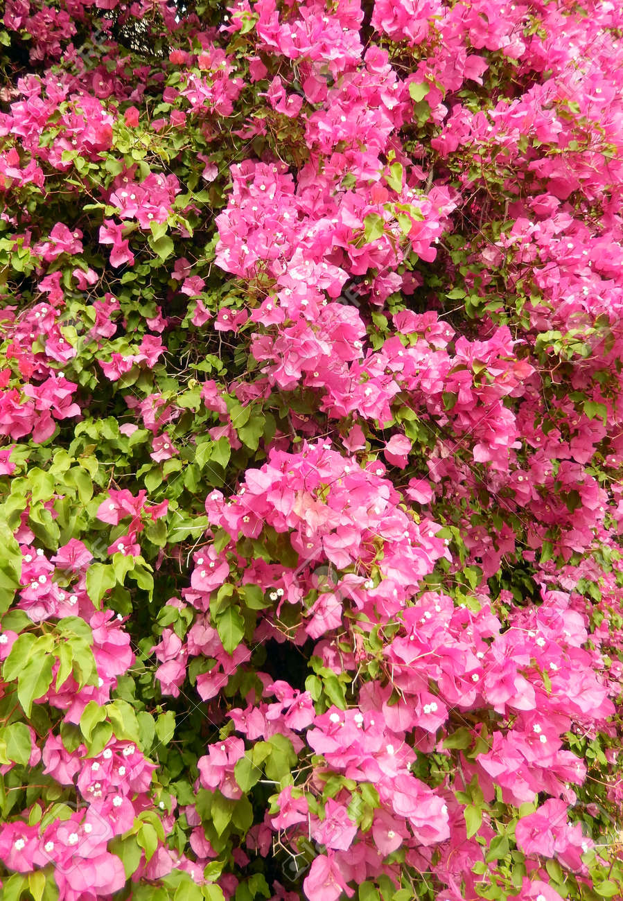 Bougainvillea bush background with blooming hot pink flowers stock bougainvillea bush background with blooming hot pink flowers stock photo 35638048 mightylinksfo