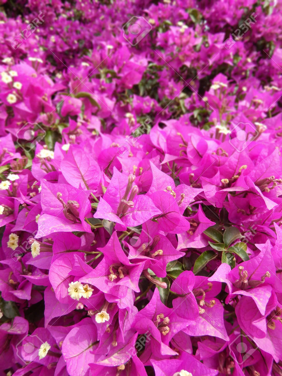 Bougainvillea Bush With Blooming Hot Pink Flowers Stock Photo