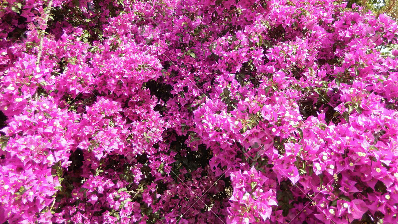 bougainvillea bush background with blooming hot pink flowers stock, Natural flower