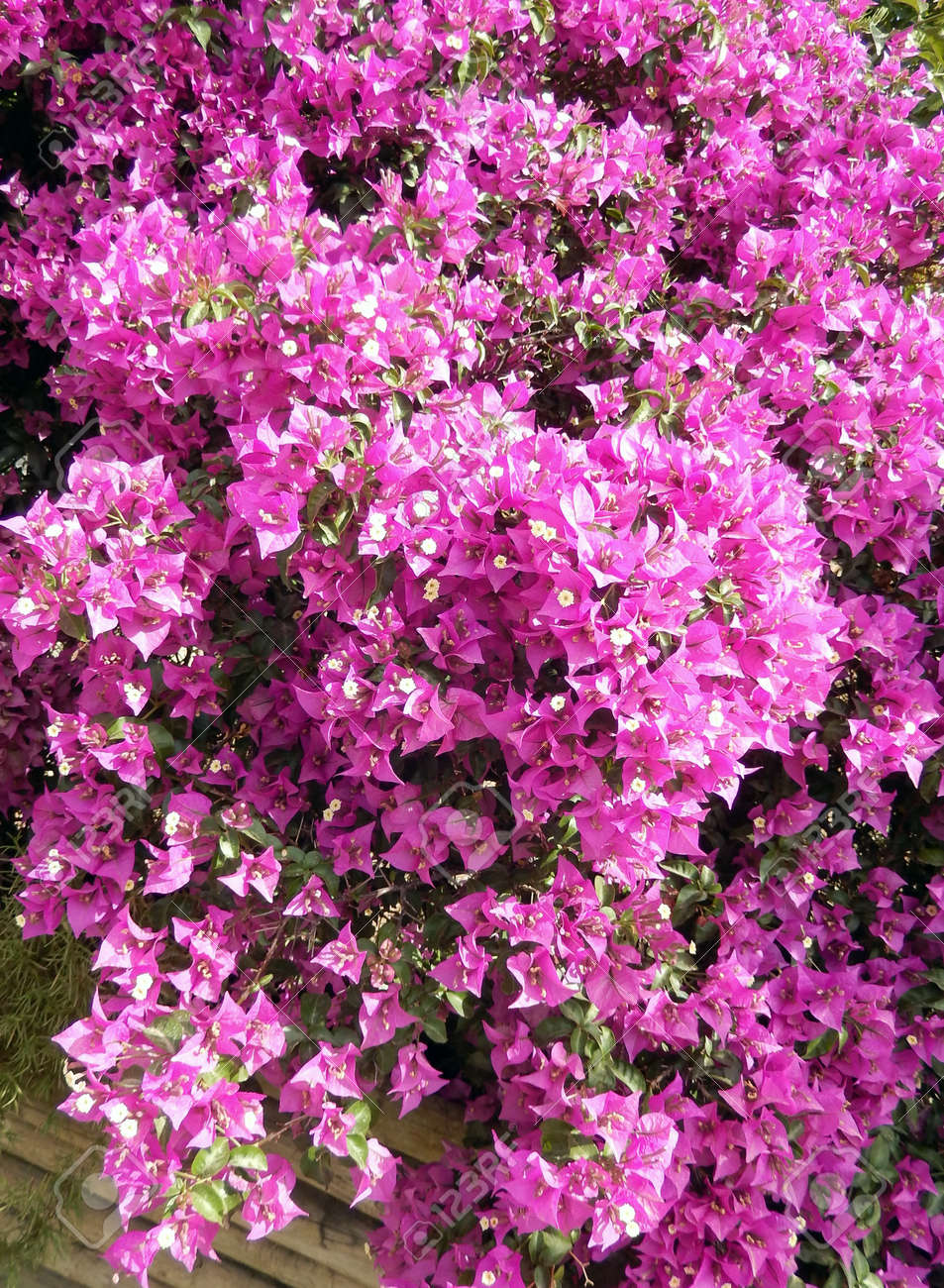 Bougainvillea Bush Background With Blooming Hot Pink Flowers Stock