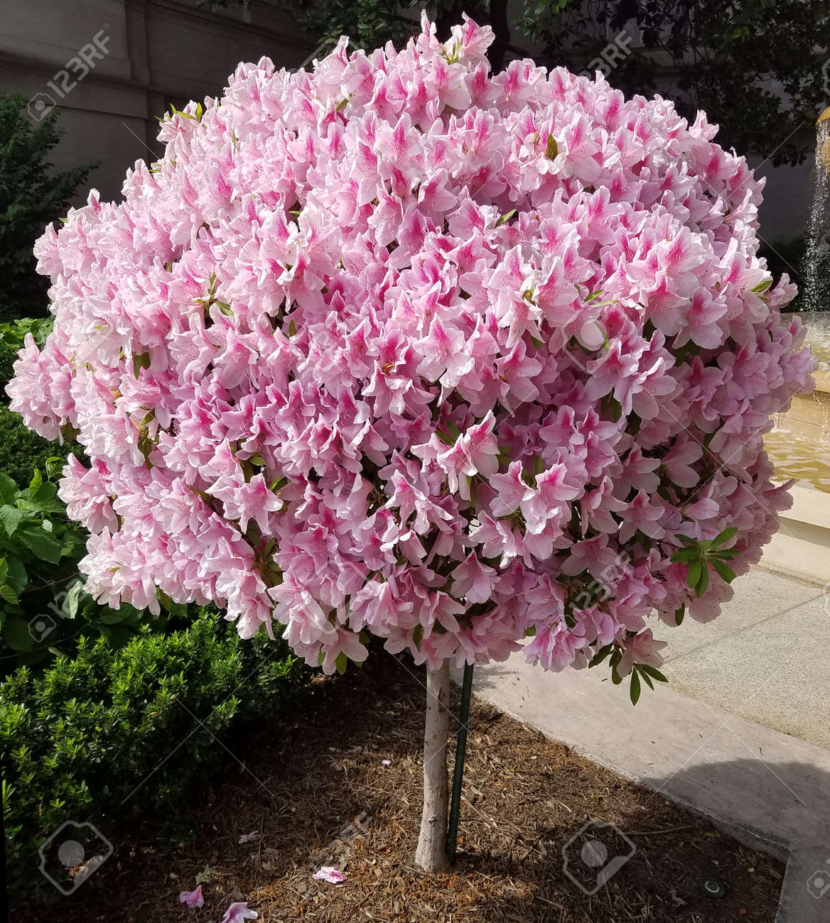 Ornamental Tree With Blooming Pink Lily Flowers For Spring
