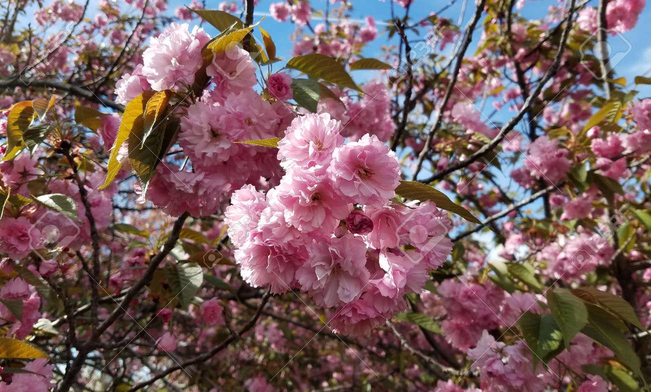 Close Up On A Tree With Blooming Pink Flower Clusters For Spring