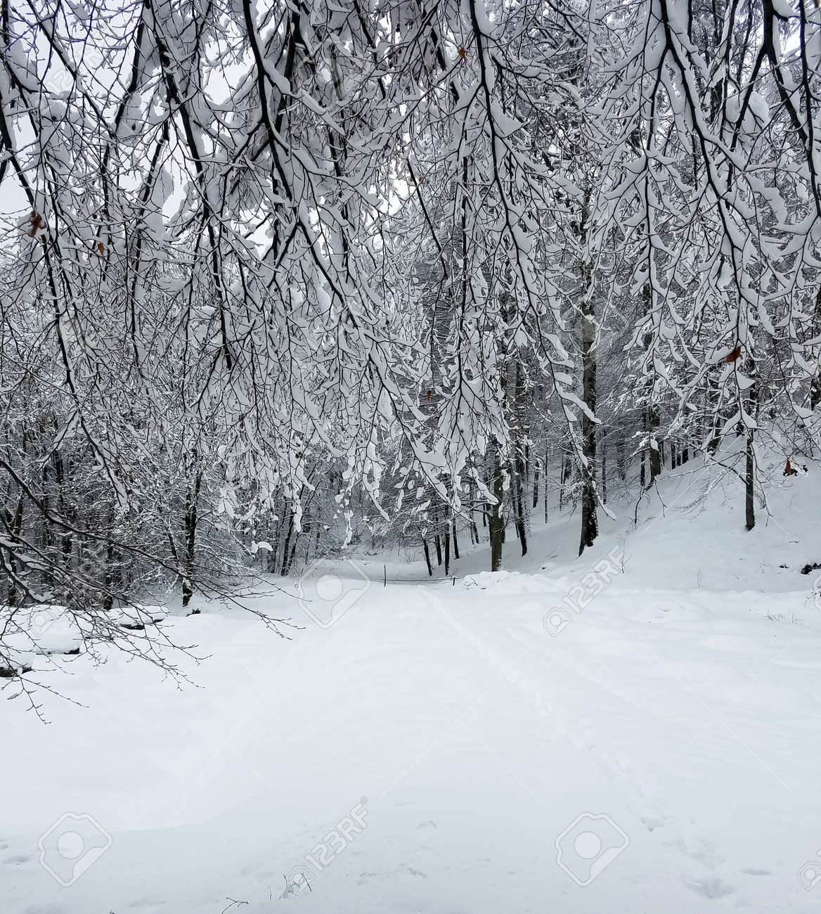 Frozen forest with tree branches and twigs covered in snow and ice for winter holiday backgrounds. - 129205395
