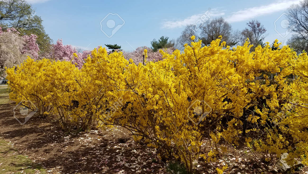 Yellow Bushes Of Forsythia Flowers In Full Bloom For Early Spring