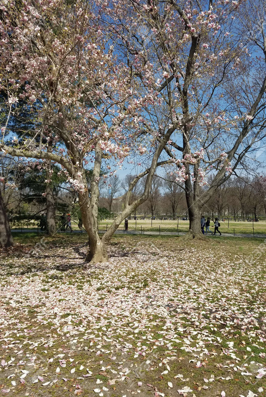 Magnolia Trees With Branches Loaded With Blooming White Flowers