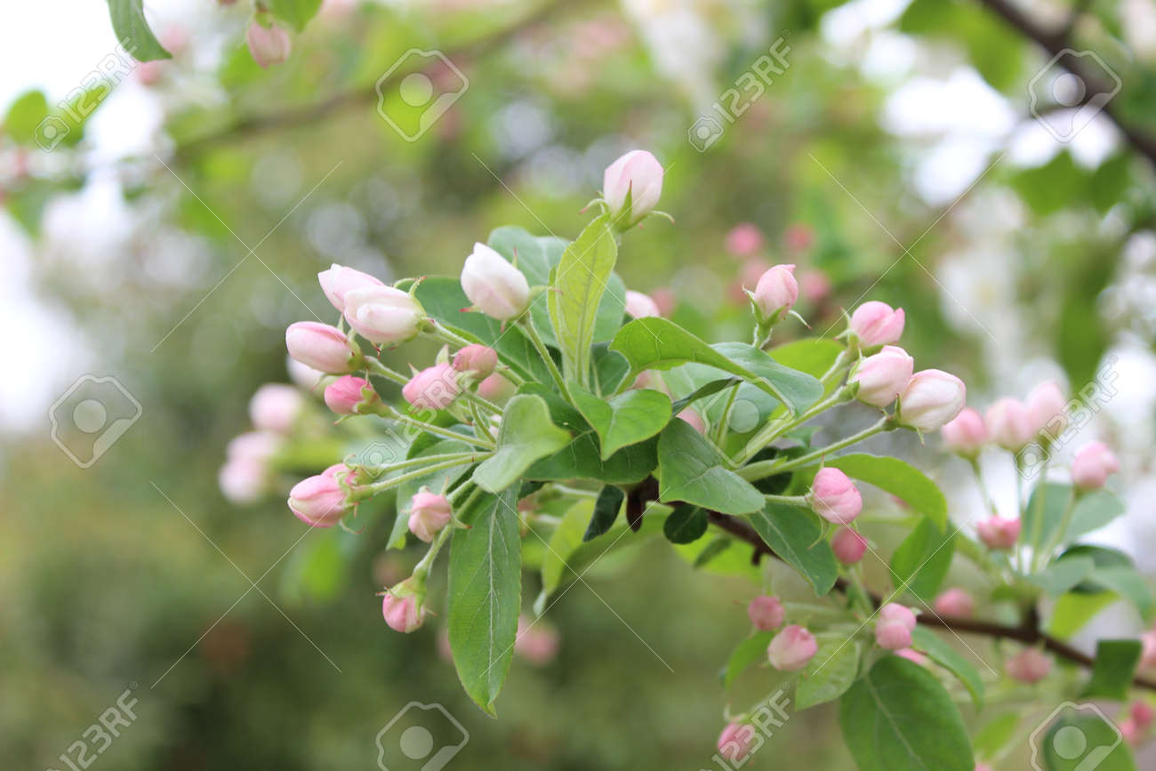 Tiny pink flowers on a spring plant stock photo picture and royalty stock photo tiny pink flowers on a spring plant mightylinksfo