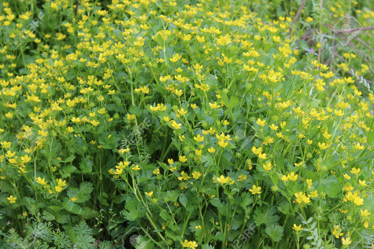 Close Up To Bush Of Plant With Tiny Yellow Flowers Stock Photo