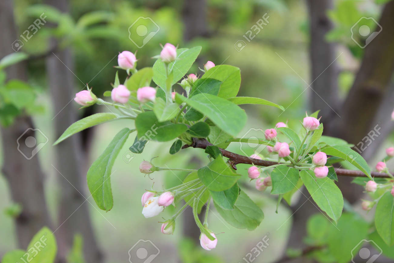 Tiny pink flowers on a plant during spring stock photo picture and stock photo tiny pink flowers on a plant during spring mightylinksfo