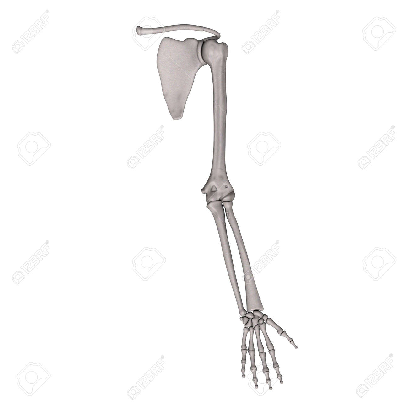 3d render of arm bones stock photo, picture and royalty free image, Human Body