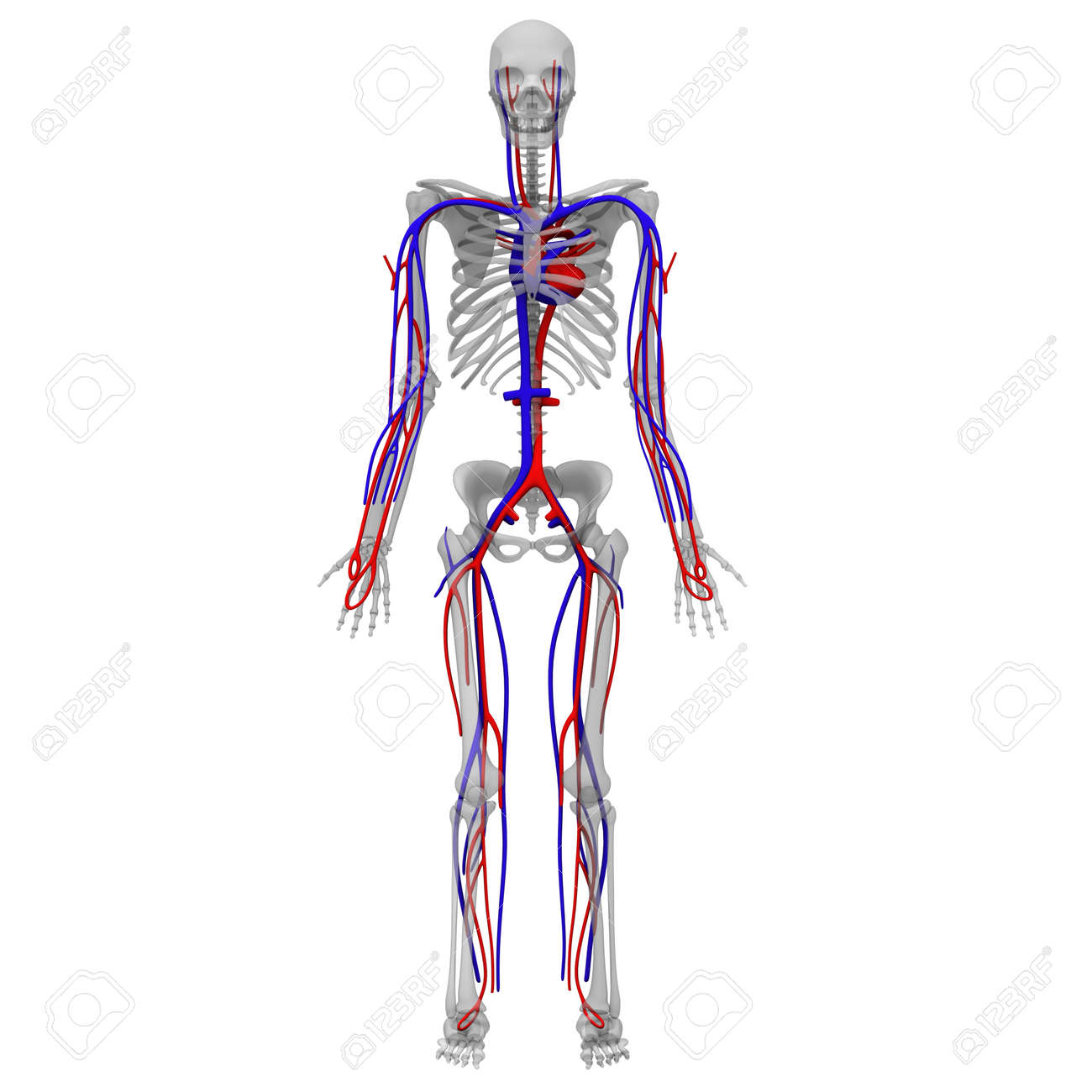 3d Render Of Circulatory System Stock Photo Picture And Royalty