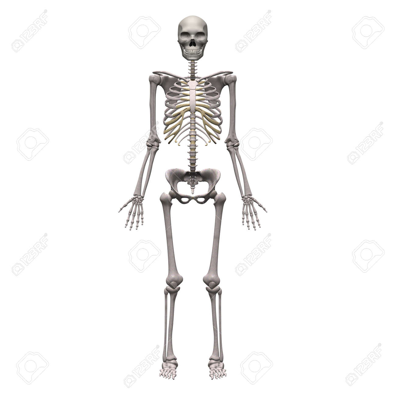 3d render of male skeleton stock photo picture and royalty free
