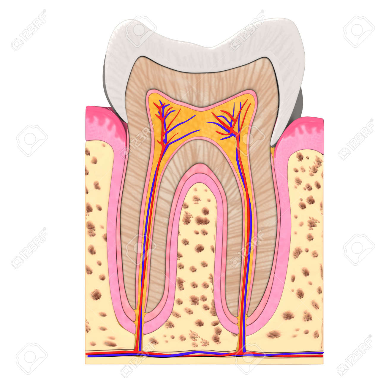 3d Render Of Teeth Anatomy Stock Photo, Picture And Royalty Free ...