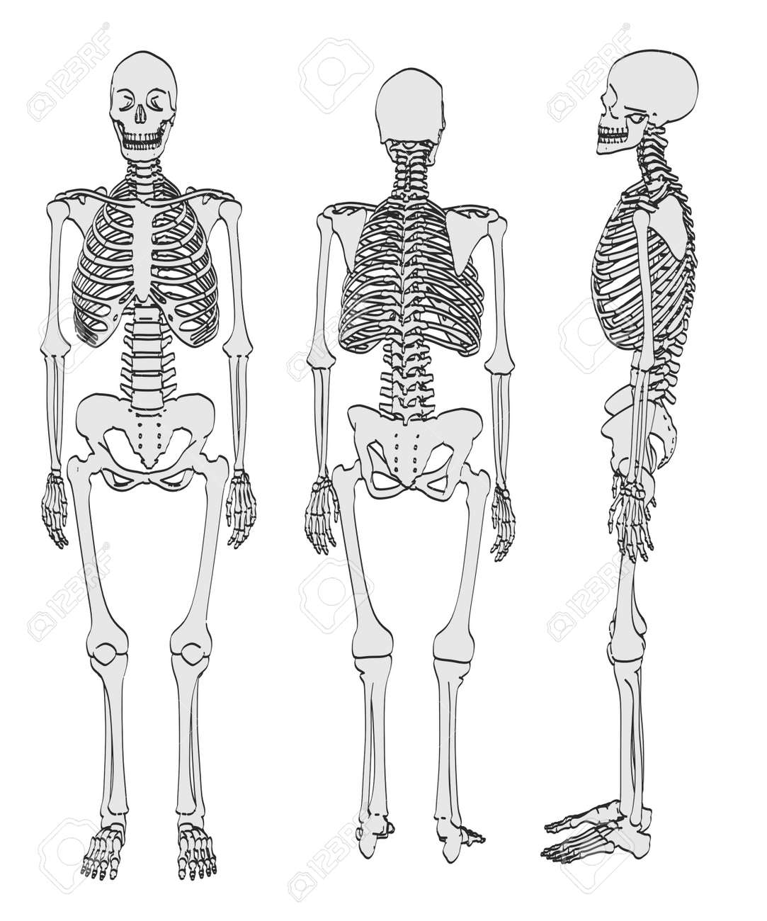 2d Cartoon Illustration Of Female Skeleton Stock Photo, Picture And ...