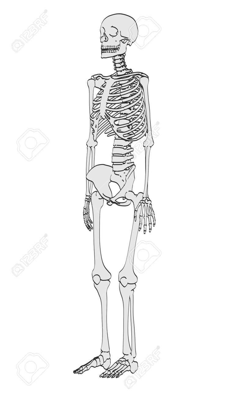 2d Ilustración De Dibujos Animados Del Esqueleto Humano Fotos ...