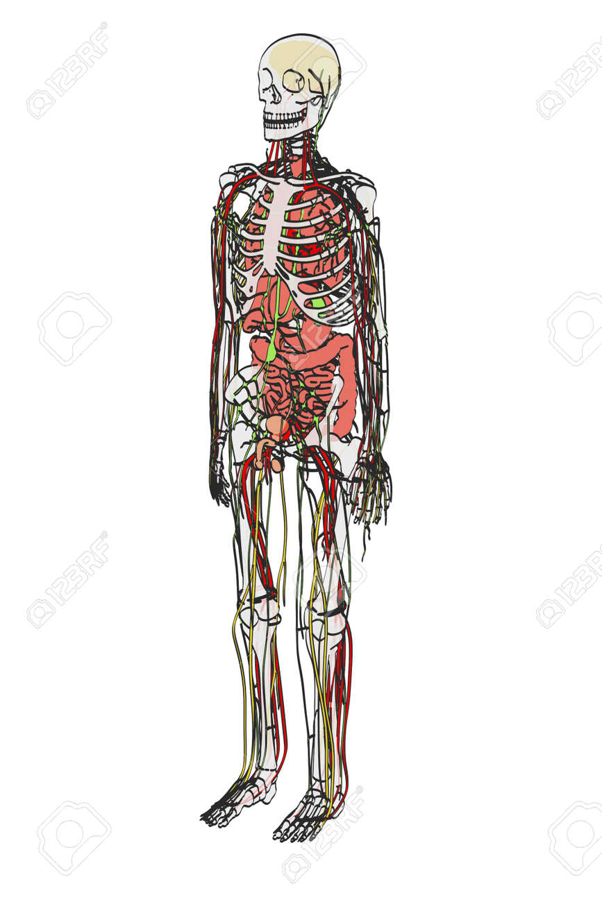 2d Cartoon Illustration Of Human Anatomy Stock Photo Picture And