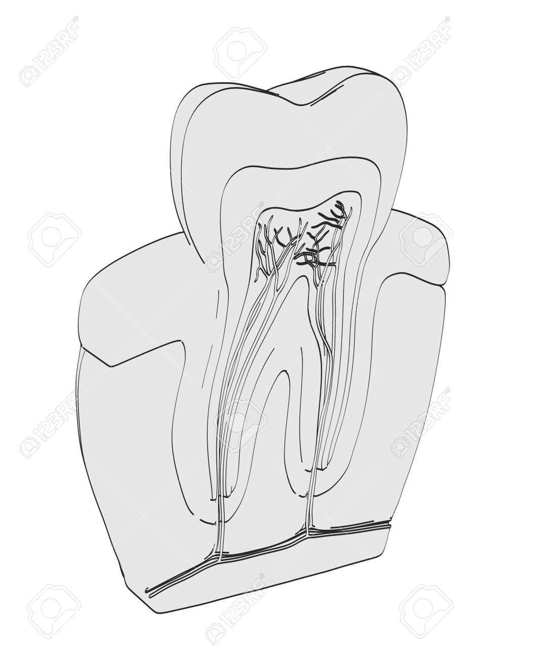 2d Ilustración De Dibujos Animados De La Anatomía Del Diente Fotos ...