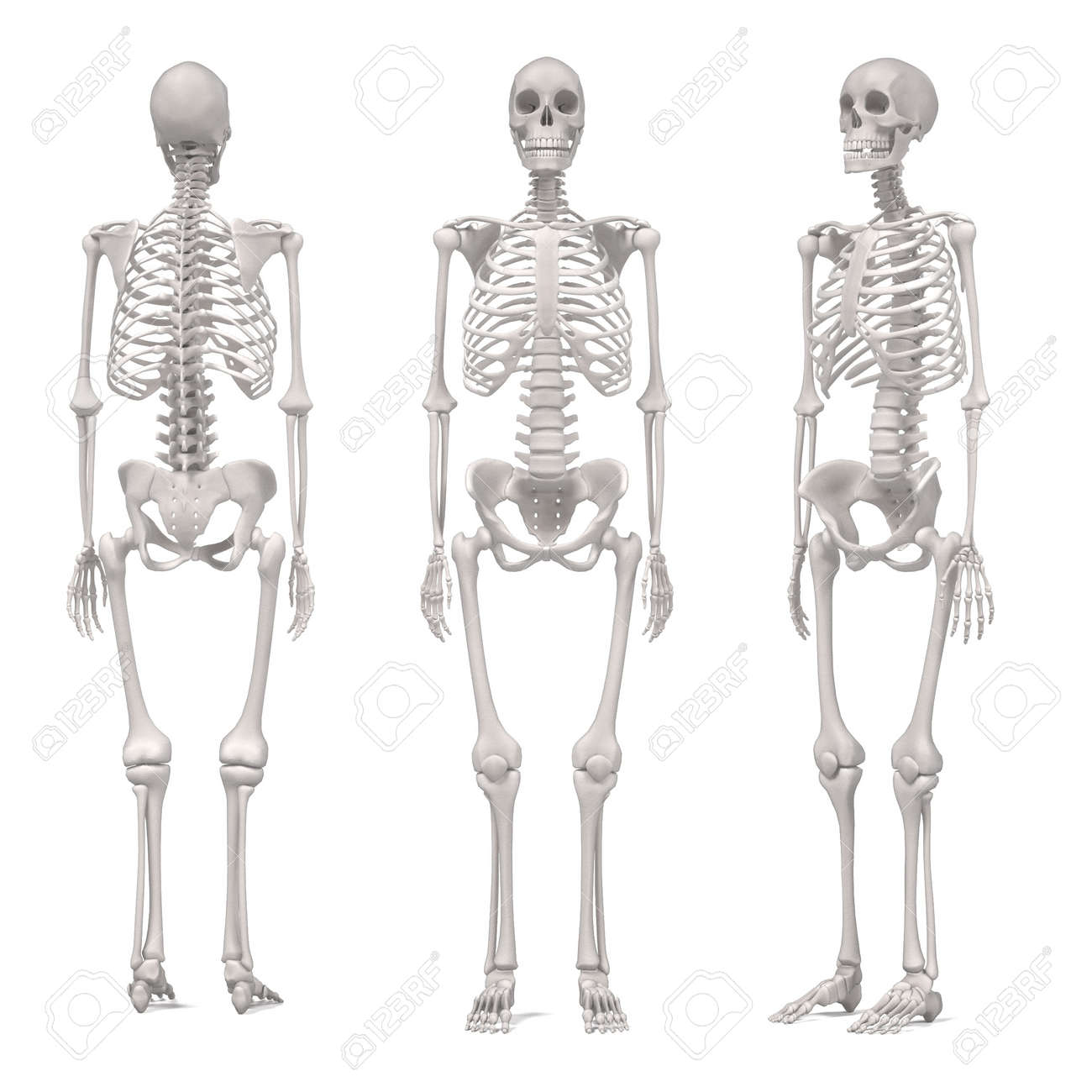 3d Renderings Of Female Skeleton Stock Photo Picture And Royalty