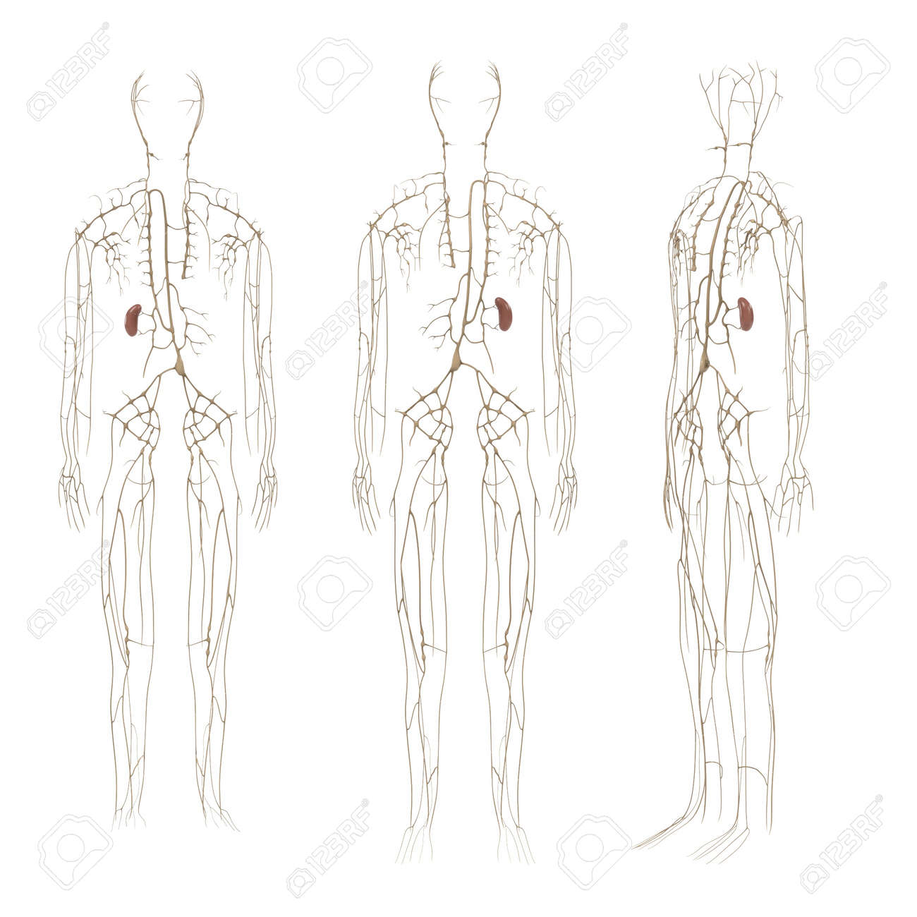 3d Renderings Of Lymphatic System Stock Photo Picture And Royalty