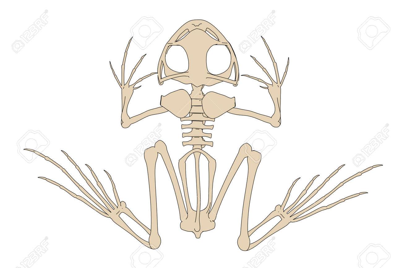 2d Ilustración De Dibujos Animados Del Esqueleto Del Sapo Fotos ...