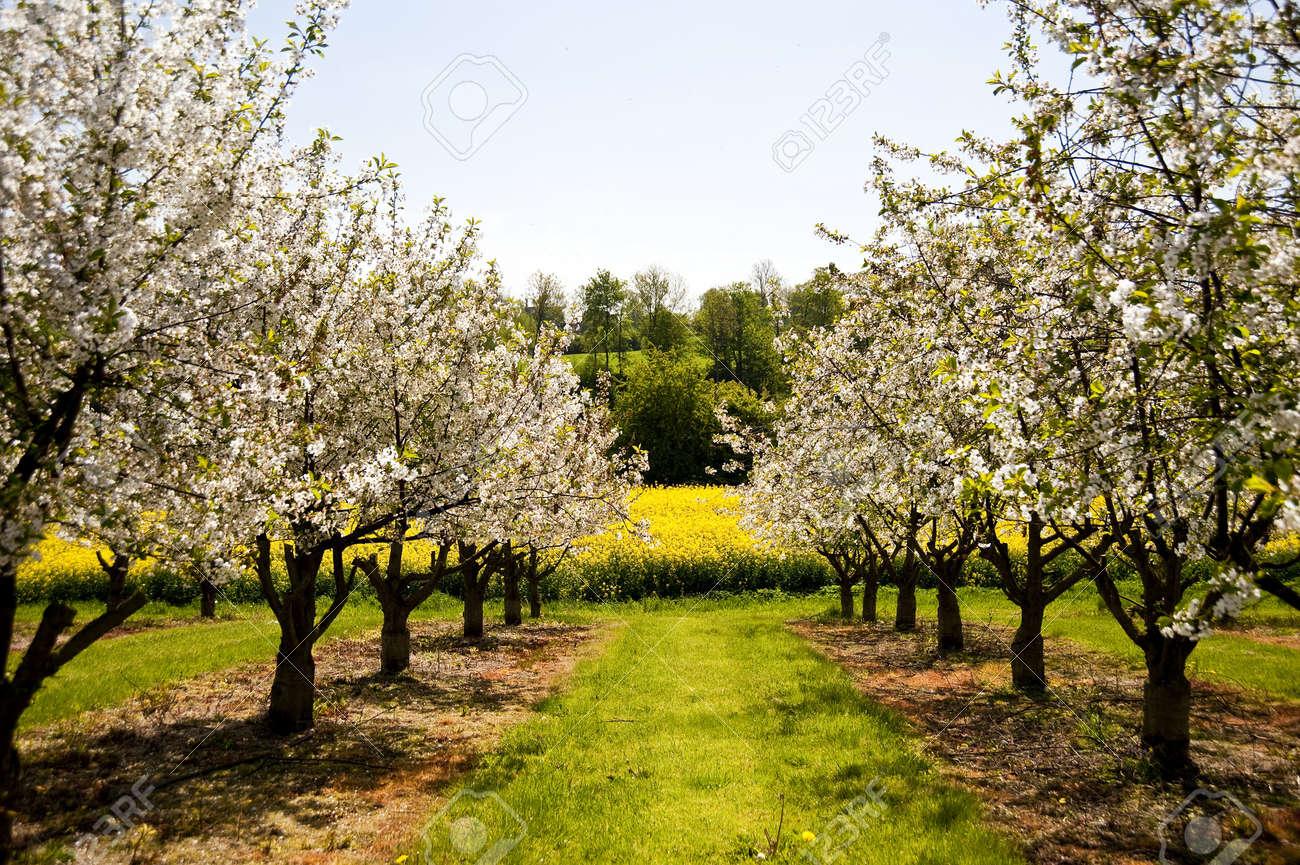 Chreey blossom in schleswig-Holstein, Germany Stock Photo - 8226501