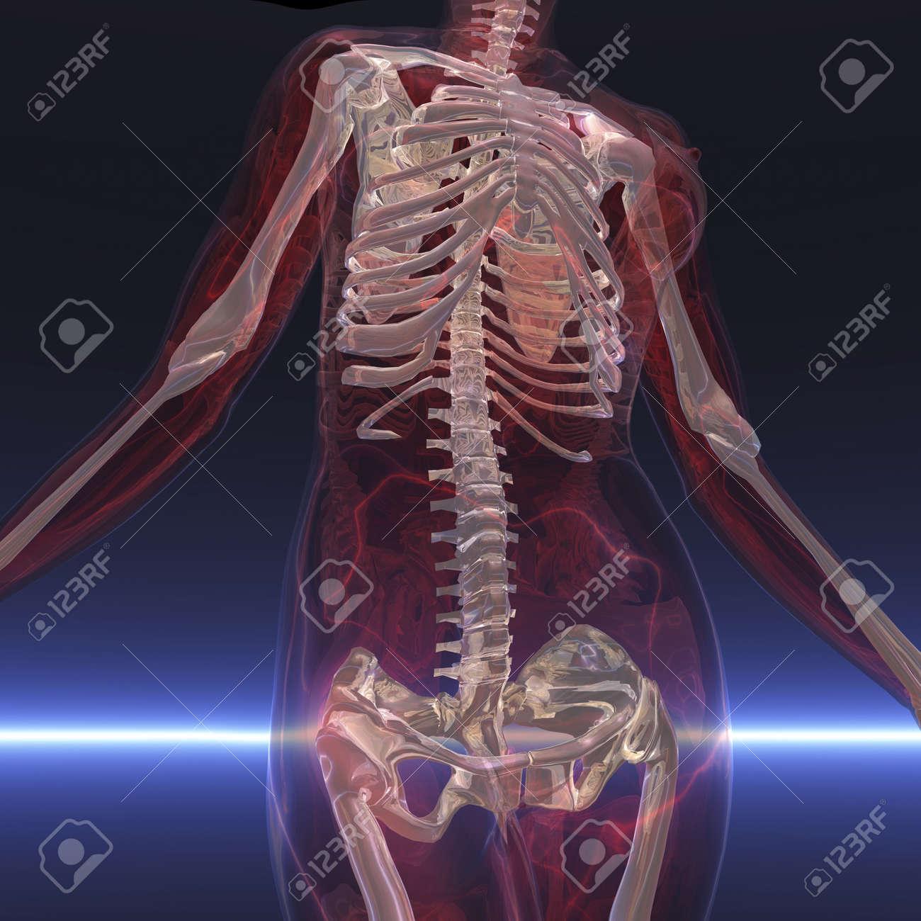 Digital visualization of a skeleton - 9118110