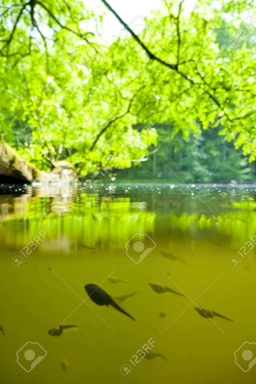 Tadpoles in a pond - 9596625