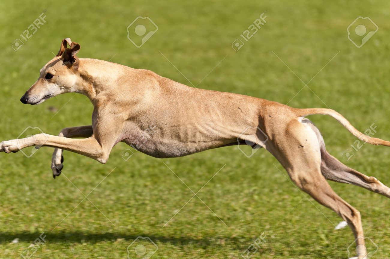 Dog Race - 15384187